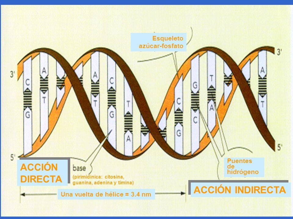 ACCIÓN DIRECTA ACCIÓN INDIRECTA Esqueleto azúcar-fosfato Puentes de hidrógeno Una vuelta de hélice = 3.4 nm (pirimidínica: citosina, guanina, adenina