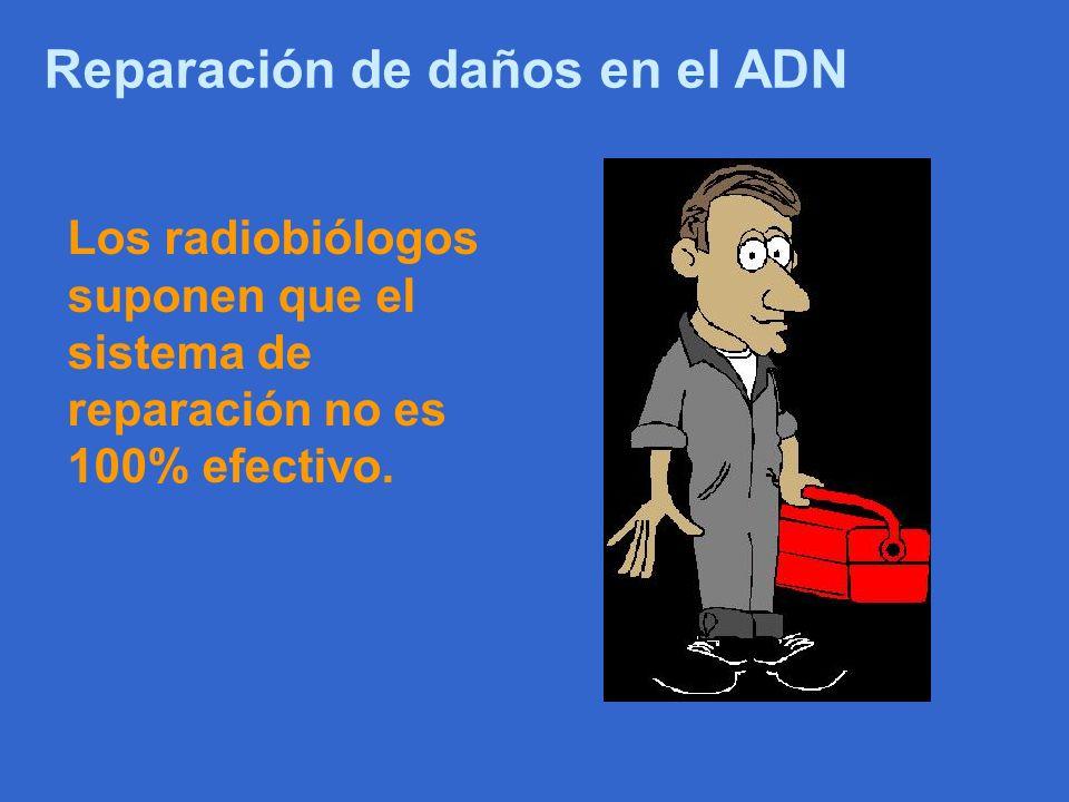 Reparación de daños en el ADN Los radiobiólogos suponen que el sistema de reparación no es 100% efectivo.