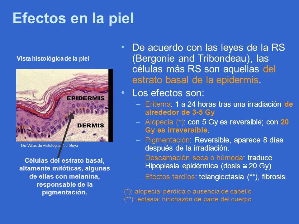 Efectos en la piel De acuerdo con las leyes de la RS (Bergonie and Tribondeau), las células más RS son aquellas del estrato basal de la epidermis. Los