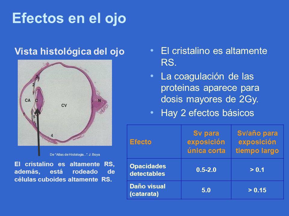 Efectos en el ojo De Atlas de Histologia.... J. Boya Vista histológica del ojo El cristalino es altamente RS, además, está rodeado de células cuboides