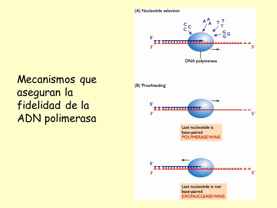 Mecanismos que aseguran la fidelidad de la ADN polimerasa