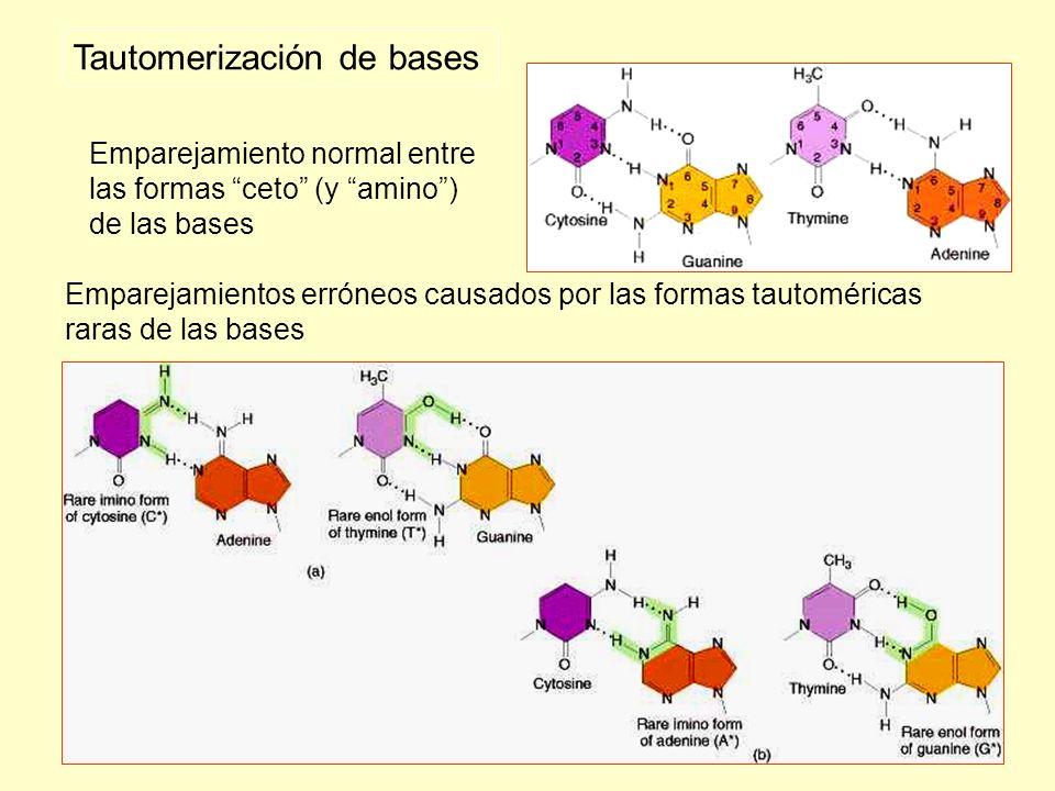 Emparejamiento normal entre las formas ceto (y amino) de las bases Emparejamientos erróneos causados por las formas tautoméricas raras de las bases Ta