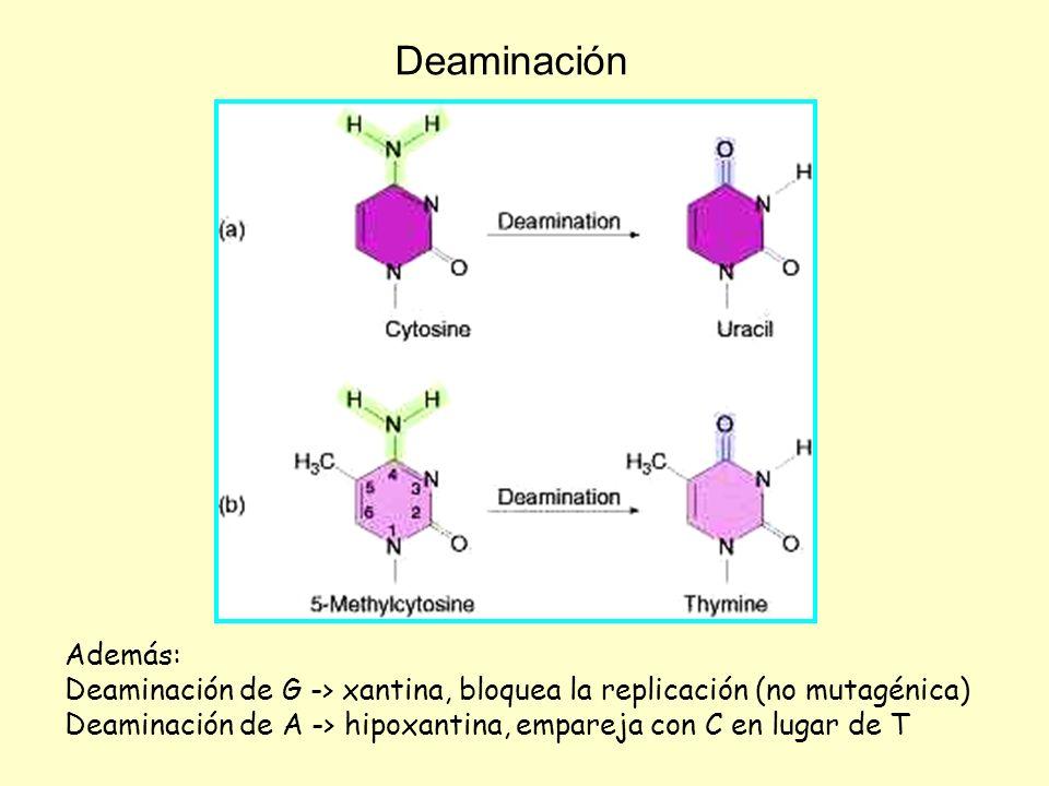 Deaminación Además: Deaminación de G -> xantina, bloquea la replicación (no mutagénica) Deaminación de A -> hipoxantina, empareja con C en lugar de T