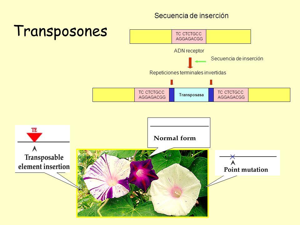 Transposones Secuencia de inserción ADN receptor TC CTCTGCC AGGAGACGG TC CTCTGCC AGGAGACGG TC CTCTGCC AGGAGACGG Transposasa Secuencia de inserción Rep
