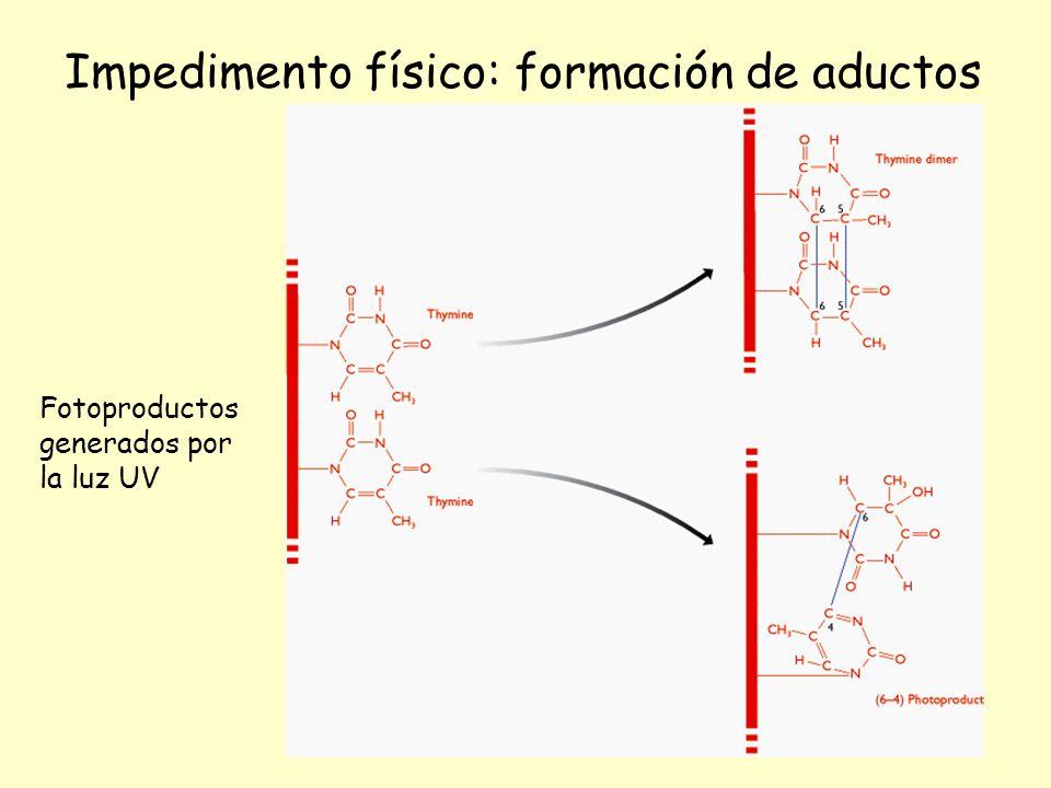 Fotoproductos generados por la luz UV Impedimento físico: formación de aductos