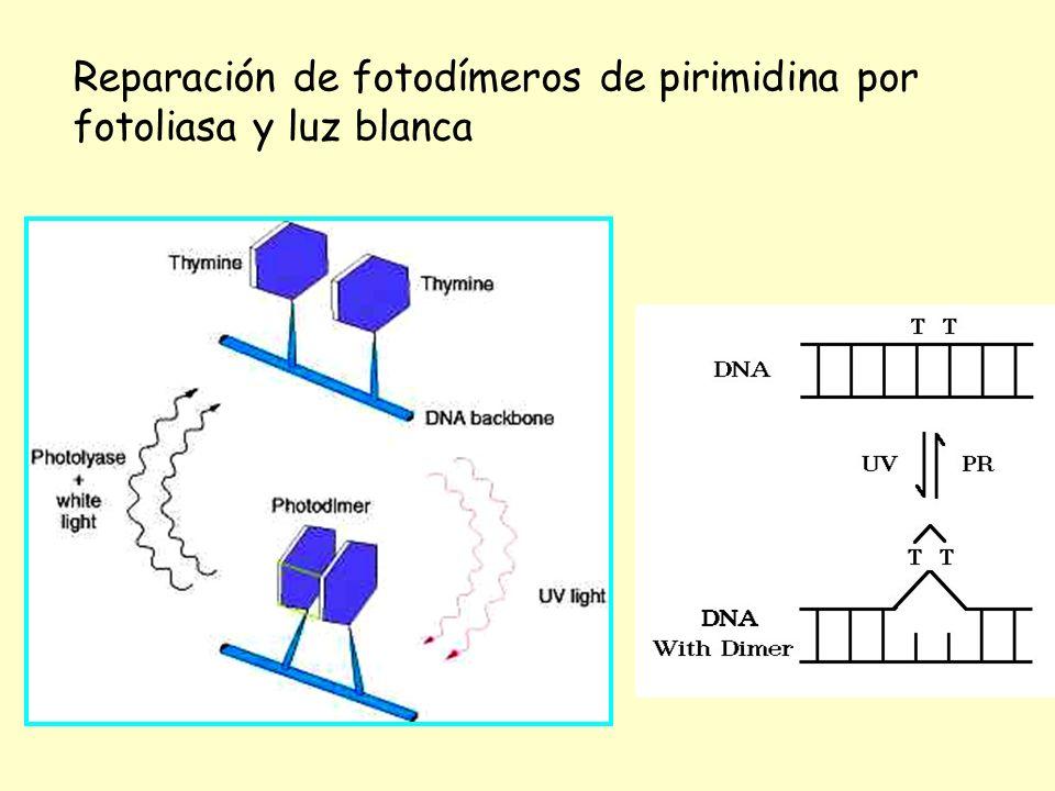 Reparación de fotodímeros de pirimidina por fotoliasa y luz blanca