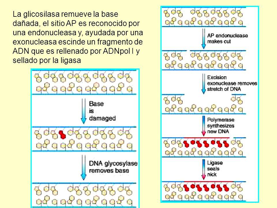 La glicosilasa remueve la base dañada, el sitio AP es reconocido por una endonucleasa y, ayudada por una exonucleasa escinde un fragmento de ADN que e