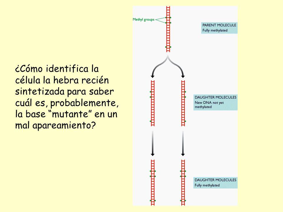 ¿Cómo identifica la célula la hebra recién sintetizada para saber cuál es, probablemente, la base mutante en un mal apareamiento?