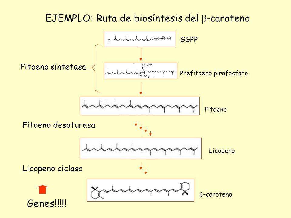 EJEMPLO: Ruta de biosíntesis del -caroteno GGPP Prefitoeno pirofosfato Fitoeno Licopeno -caroteno Fitoeno sintetasa Fitoeno desaturasa Licopeno ciclas