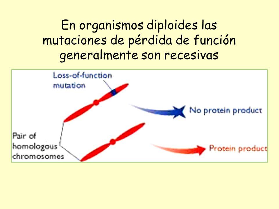En organismos diploides las mutaciones de pérdida de función generalmente son recesivas