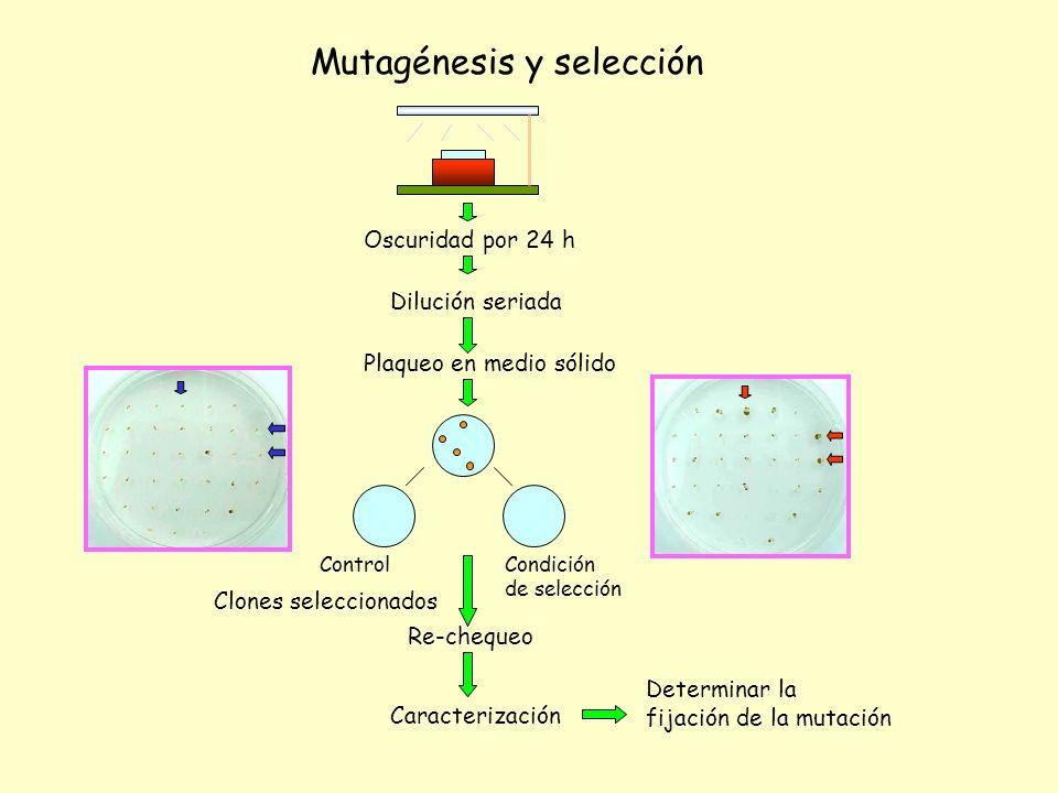 Oscuridad por 24 h Dilución seriada Mutagénesis y selección Plaqueo en medio sólido Clones seleccionados Re-chequeo Caracterización Determinar la fija