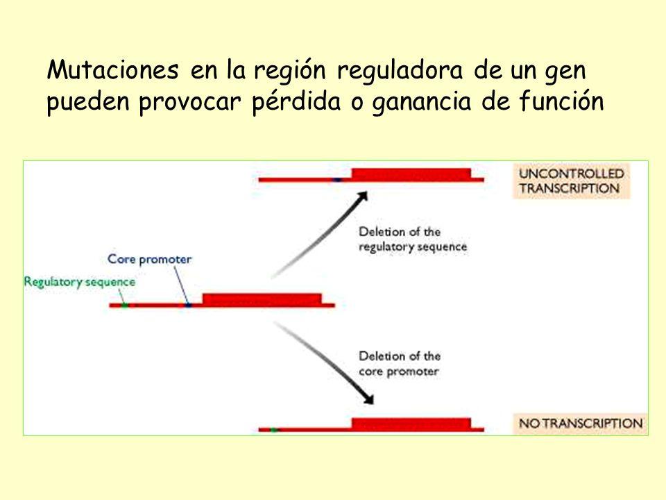 Mutaciones en la región reguladora de un gen pueden provocar pérdida o ganancia de función