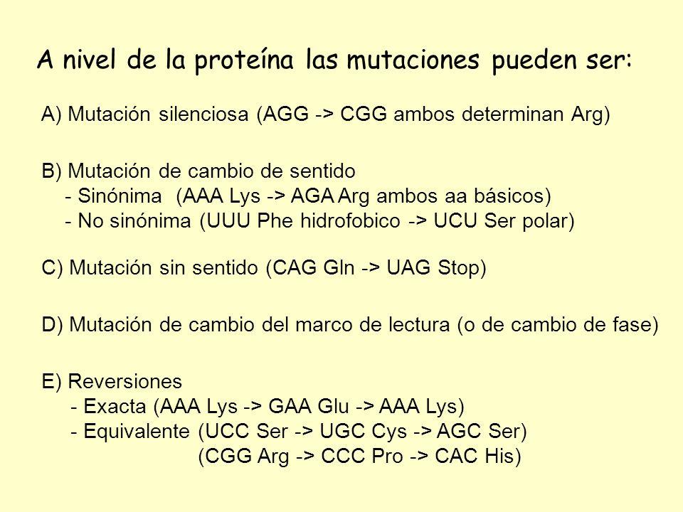 A nivel de la proteína las mutaciones pueden ser: A) Mutación silenciosa (AGG -> CGG ambos determinan Arg) B) Mutación de cambio de sentido - Sinónima