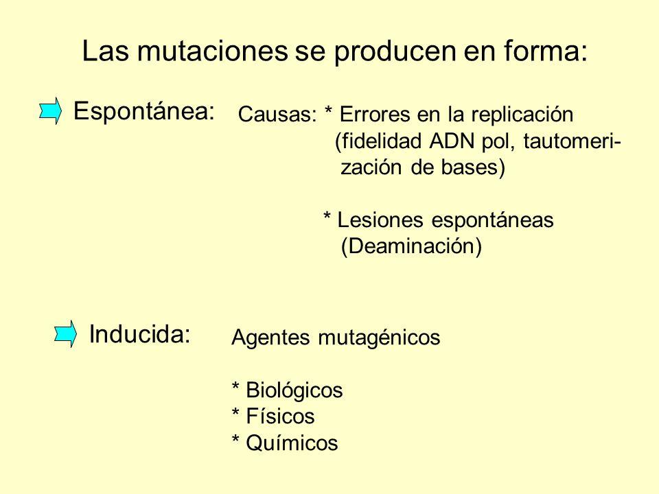 Las mutaciones se producen en forma: Inducida: Agentes mutagénicos * Biológicos * Físicos * Químicos Espontánea: Causas: * Errores en la replicación (