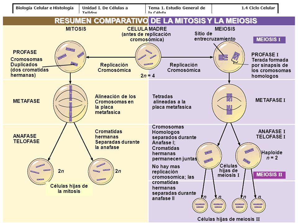 Biología Celular e HistologíaUnidad I. De Células a Tejidos Tema 1. Estudio General de la Célula 1.4 Ciclo Celular PROFASE I Terada formada por sinaps