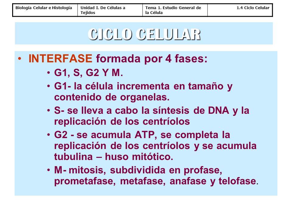 Biología Celular e HistologíaUnidad I. De Células a Tejidos Tema 1. Estudio General de la Célula 1.4 Ciclo Celular INTERFASE formada por 4 fases: G1,
