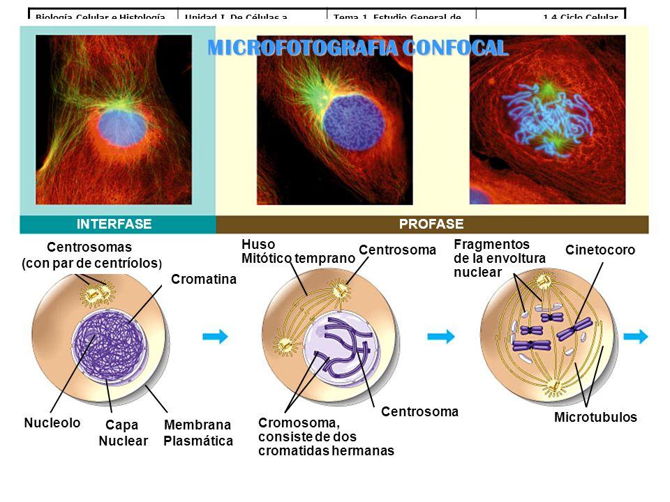 Biología Celular e HistologíaUnidad I. De Células a Tejidos Tema 1. Estudio General de la Célula 1.4 Ciclo Celular Mitosis: INTERFASEPROFASE Centrosom