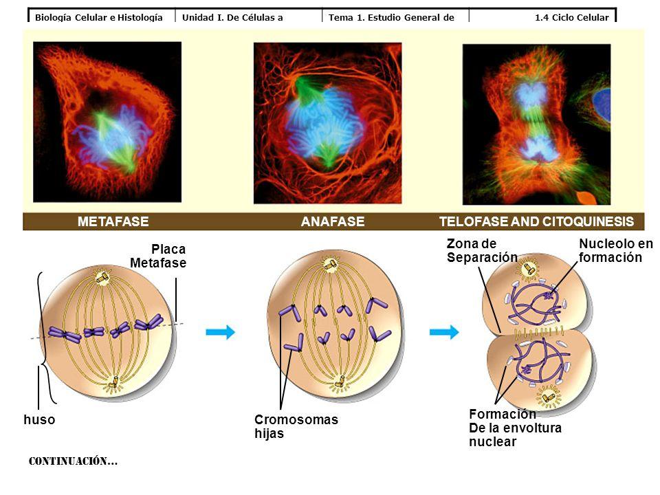 Biología Celular e HistologíaUnidad I. De Células a Tejidos Tema 1. Estudio General de la Célula 1.4 Ciclo Celular METAFASETELOFASE AND CITOQUINESIS N