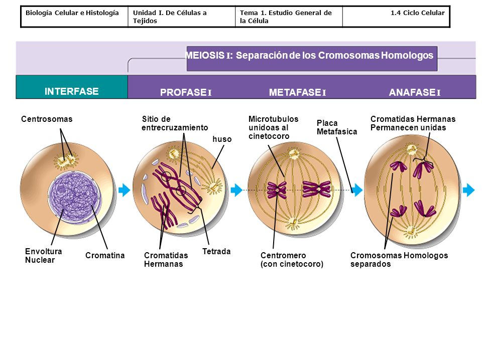 Biología Celular e HistologíaUnidad I. De Células a Tejidos Tema 1. Estudio General de la Célula 1.4 Ciclo Celular MEIOSIS I : Separación de los Cromo