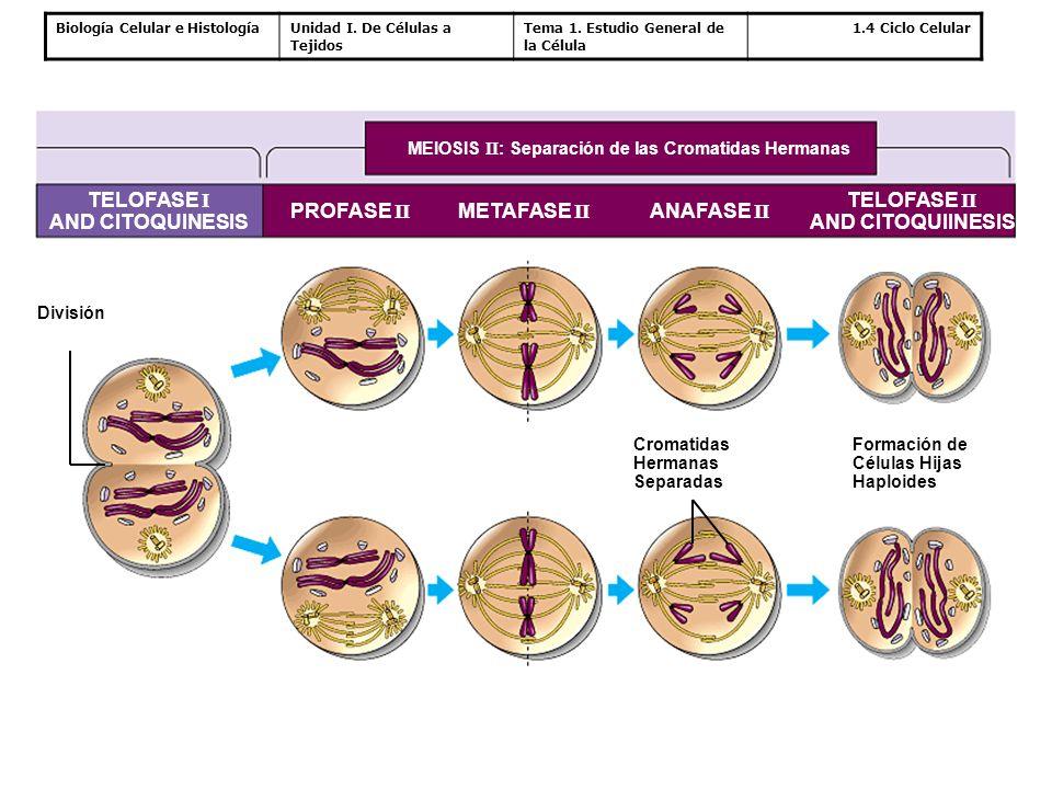 Biología Celular e HistologíaUnidad I. De Células a Tejidos Tema 1. Estudio General de la Célula 1.4 Ciclo Celular MEIOSIS II : Separación de las Crom