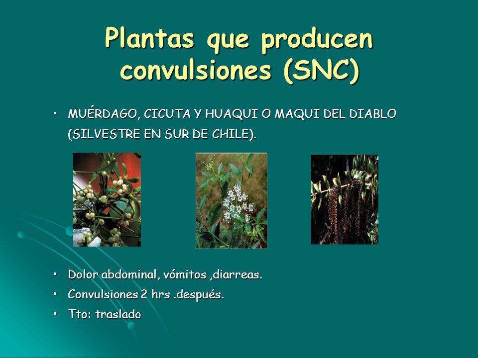 Plantas que producen convulsiones (SNC) MUÉRDAGO, CICUTA Y HUAQUI O MAQUI DEL DIABLO (SILVESTRE EN SUR DE CHILE).MUÉRDAGO, CICUTA Y HUAQUI O MAQUI DEL