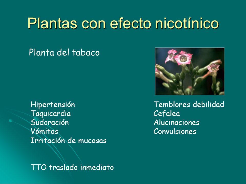 Plantas con efecto nicotínico Planta del tabaco Hipertensión Temblores debilidad Taquicardia Cefalea Sudoración Alucinaciones Vómitos Convulsiones Irr