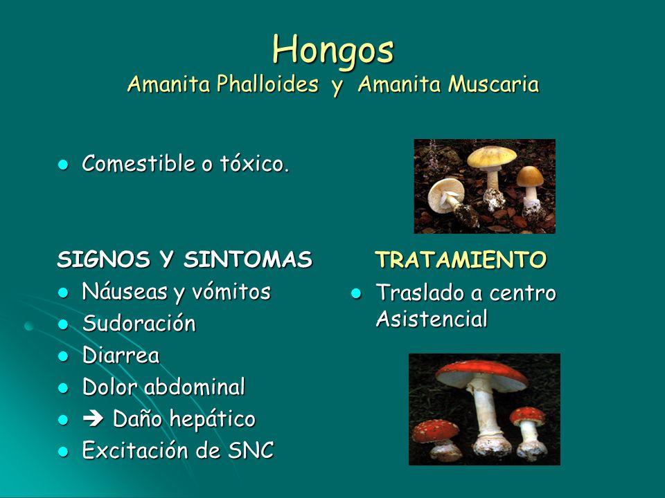 Hongos Amanita Phalloides y Amanita Muscaria Comestible o tóxico. Comestible o tóxico. SIGNOS Y SINTOMAS Náuseas y vómitos Náuseas y vómitos Sudoració