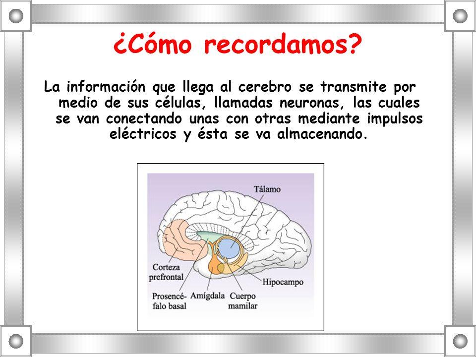 ¿Cómo recordamos? La información que llega al cerebro se transmite por medio de sus células, llamadas neuronas, las cuales se van conectando unas con