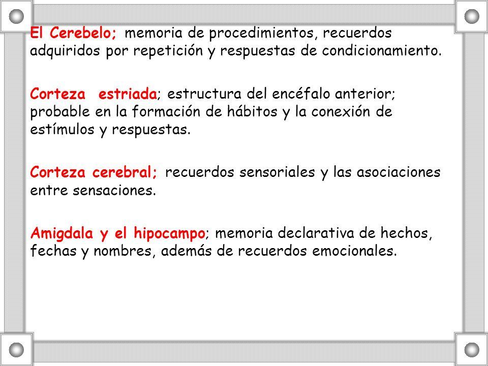 El Cerebelo; memoria de procedimientos, recuerdos adquiridos por repetición y respuestas de condicionamiento. Corteza estriada; estructura del encéfal