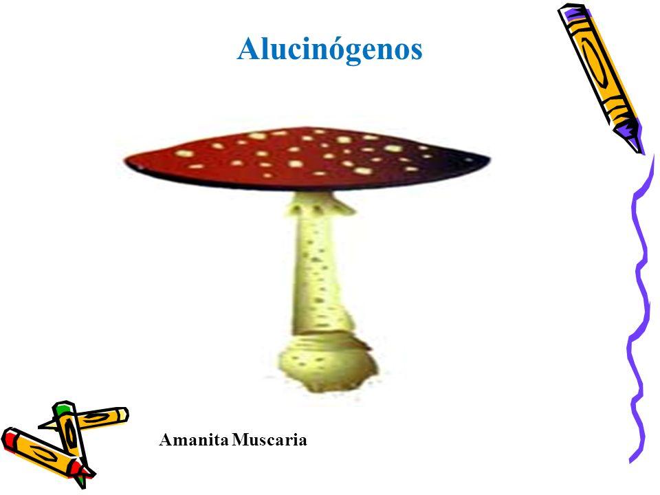 Alucinógenos Amanita Muscaria