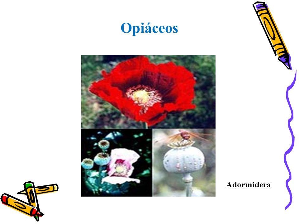 Opiáceos Adormidera