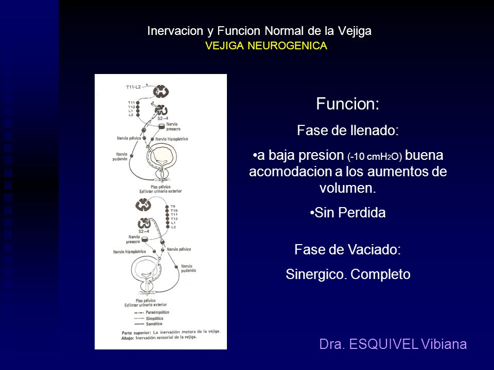 Inervacion motora de la vejiga Inervacion sensorial de la vejiga