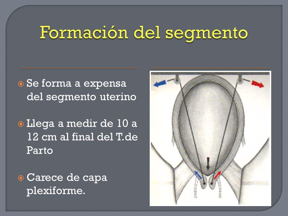 Se forma a expensa del segmento uterino Llega a medir de 10 a 12 cm al final del T.de Parto Carece de capa plexiforme.