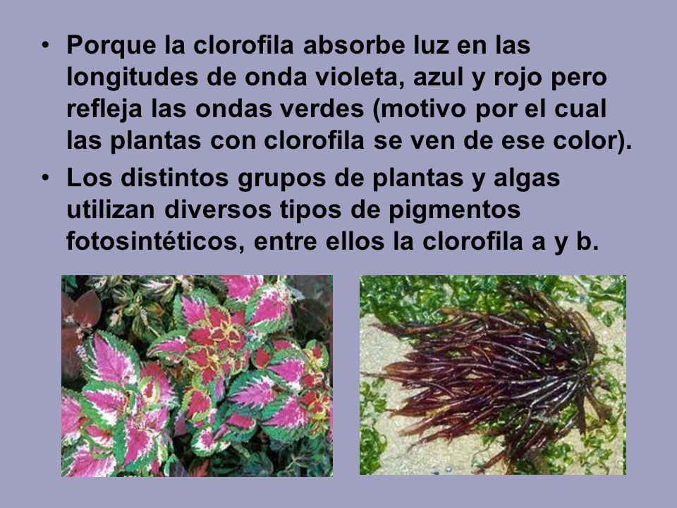 Porque la clorofila absorbe luz en las longitudes de onda violeta, azul y rojo pero refleja las ondas verdes (motivo por el cual las plantas con cloro