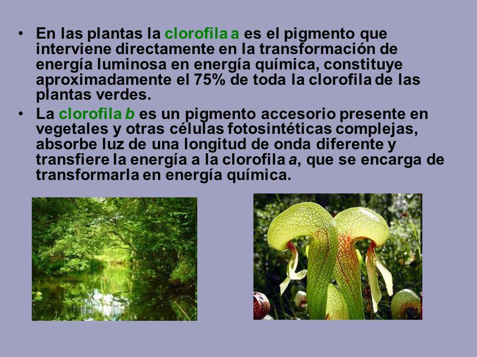 En las plantas la clorofila a es el pigmento que interviene directamente en la transformación de energía luminosa en energía química, constituye aprox