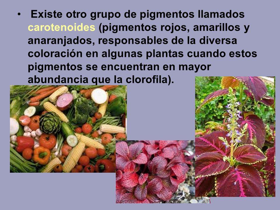 Existe otro grupo de pigmentos llamados carotenoides (pigmentos rojos, amarillos y anaranjados, responsables de la diversa coloración en algunas plant