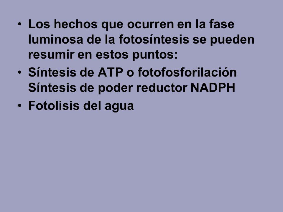 Los hechos que ocurren en la fase luminosa de la fotosíntesis se pueden resumir en estos puntos: Síntesis de ATP o fotofosforilación Síntesis de poder