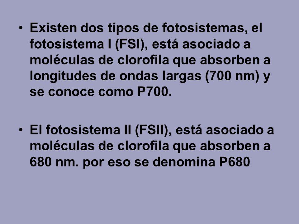 Existen dos tipos de fotosistemas, el fotosistema I (FSI), está asociado a moléculas de clorofila que absorben a longitudes de ondas largas (700 nm) y