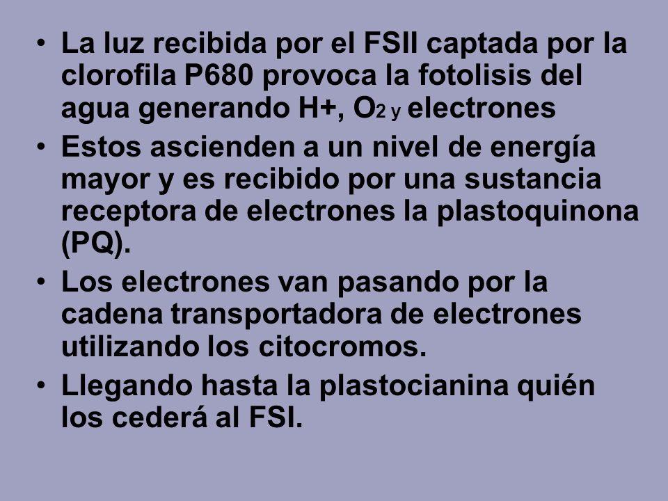 La luz recibida por el FSII captada por la clorofila P680 provoca la fotolisis del agua generando H+, O 2 y electrones Estos ascienden a un nivel de e