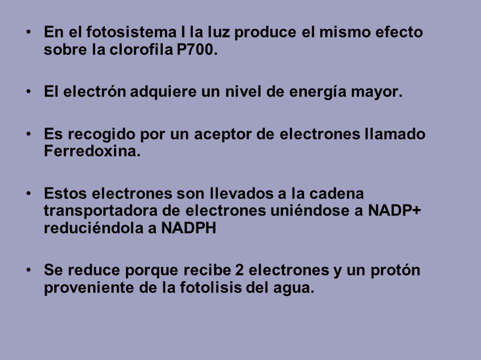 En el fotosistema I la luz produce el mismo efecto sobre la clorofila P700. El electrón adquiere un nivel de energía mayor. Es recogido por un aceptor