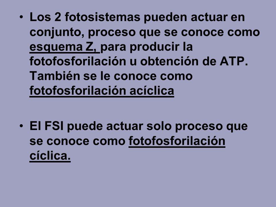 Los 2 fotosistemas pueden actuar en conjunto, proceso que se conoce como esquema Z, para producir la fotofosforilación u obtención de ATP. También se