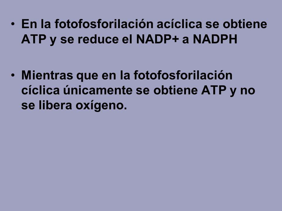 En la fotofosforilación acíclica se obtiene ATP y se reduce el NADP+ a NADPH Mientras que en la fotofosforilación cíclica únicamente se obtiene ATP y