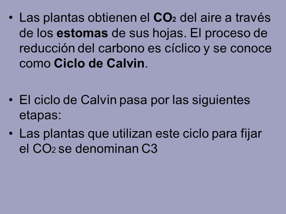 Las plantas obtienen el CO 2 del aire a través de los estomas de sus hojas. El proceso de reducción del carbono es cíclico y se conoce como Ciclo de C