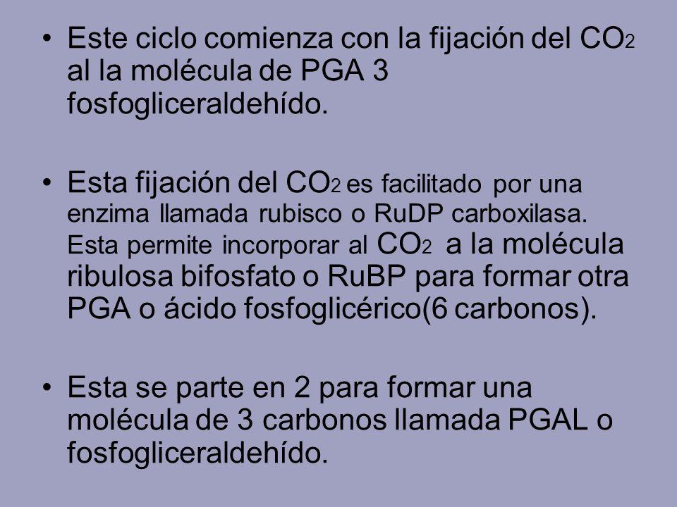 Este ciclo comienza con la fijación del CO 2 al la molécula de PGA 3 fosfogliceraldehído. Esta fijación del CO 2 es facilitado por una enzima llamada