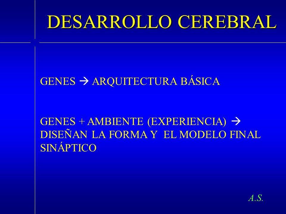 DESARROLLO CEREBRAL GENES ARQUITECTURA BÁSICA GENES + AMBIENTE (EXPERIENCIA) DISEÑAN LA FORMA Y EL MODELO FINAL SINÁPTICO