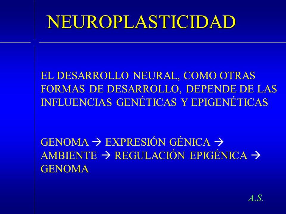 A.S. NEUROPLASTICIDAD EL DESARROLLO NEURAL, COMO OTRAS FORMAS DE DESARROLLO, DEPENDE DE LAS INFLUENCIAS GENÉTICAS Y EPIGENÉTICAS GENOMA EXPRESIÓN GÉNI