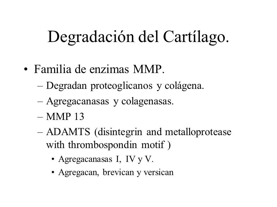 Degradación del Cartílago. Familia de enzimas MMP. –Degradan proteoglicanos y colágena. –Agregacanasas y colagenasas. –MMP 13 –ADAMTS (disintegrin and