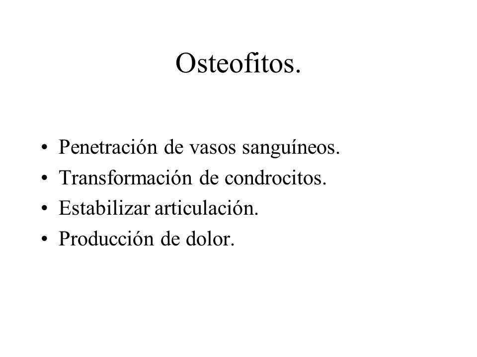 Osteofitos. Penetración de vasos sanguíneos. Transformación de condrocitos. Estabilizar articulación. Producción de dolor.