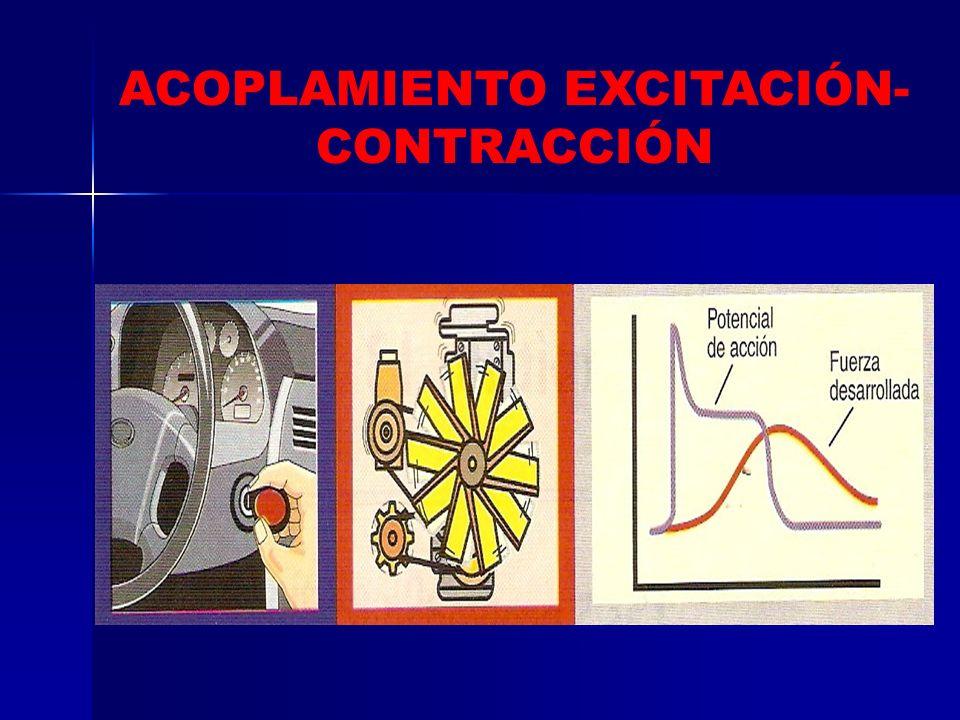 CICLO CARDÍACO FISIOLOGÍA CARDIOVASCULAR B. CONTRACCIÓN VENTRICULAR ISOMÉTRICA