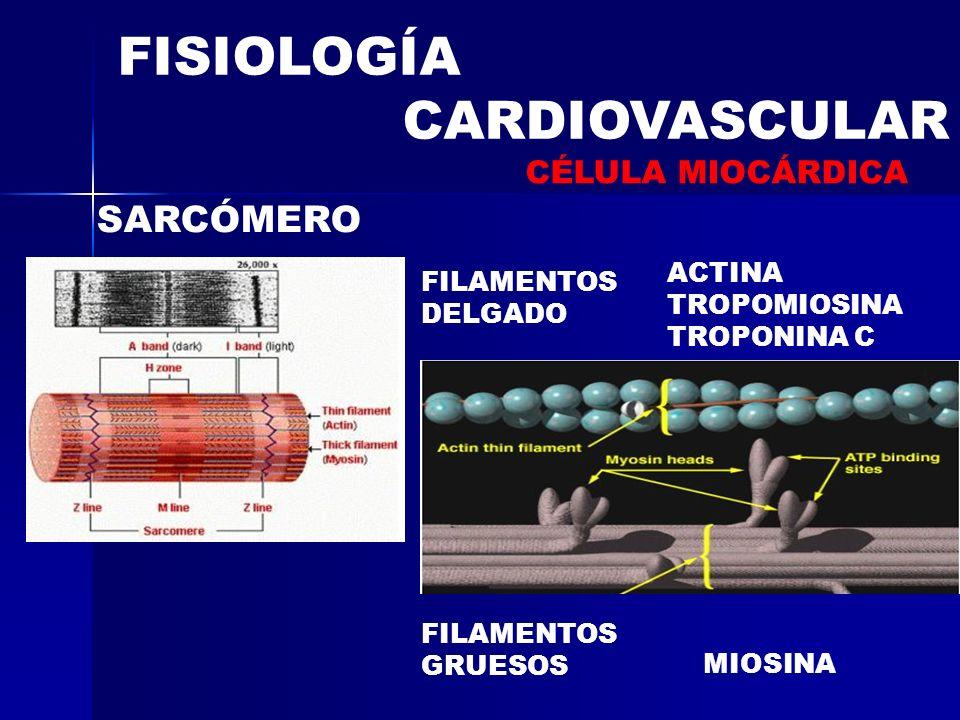 FISIOLOGÍA CARDIOVASCULAR SARCÓMERO FILAMENTOS DELGADO FILAMENTOS GRUESOS MIOSINA ACTINA TROPOMIOSINA TROPONINA C CÉLULA MIOCÁRDICA